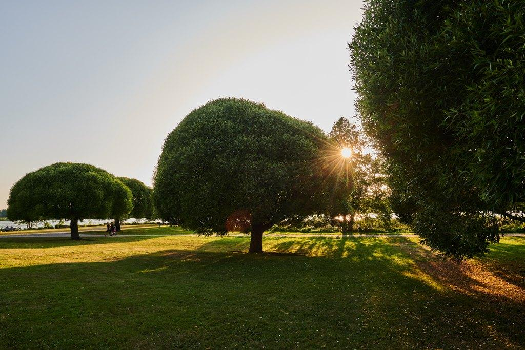 Laaja kesäinen puistomaisema, pyöreäksi leikattuja puita. Puiden takaa pilkottaa aurinko.