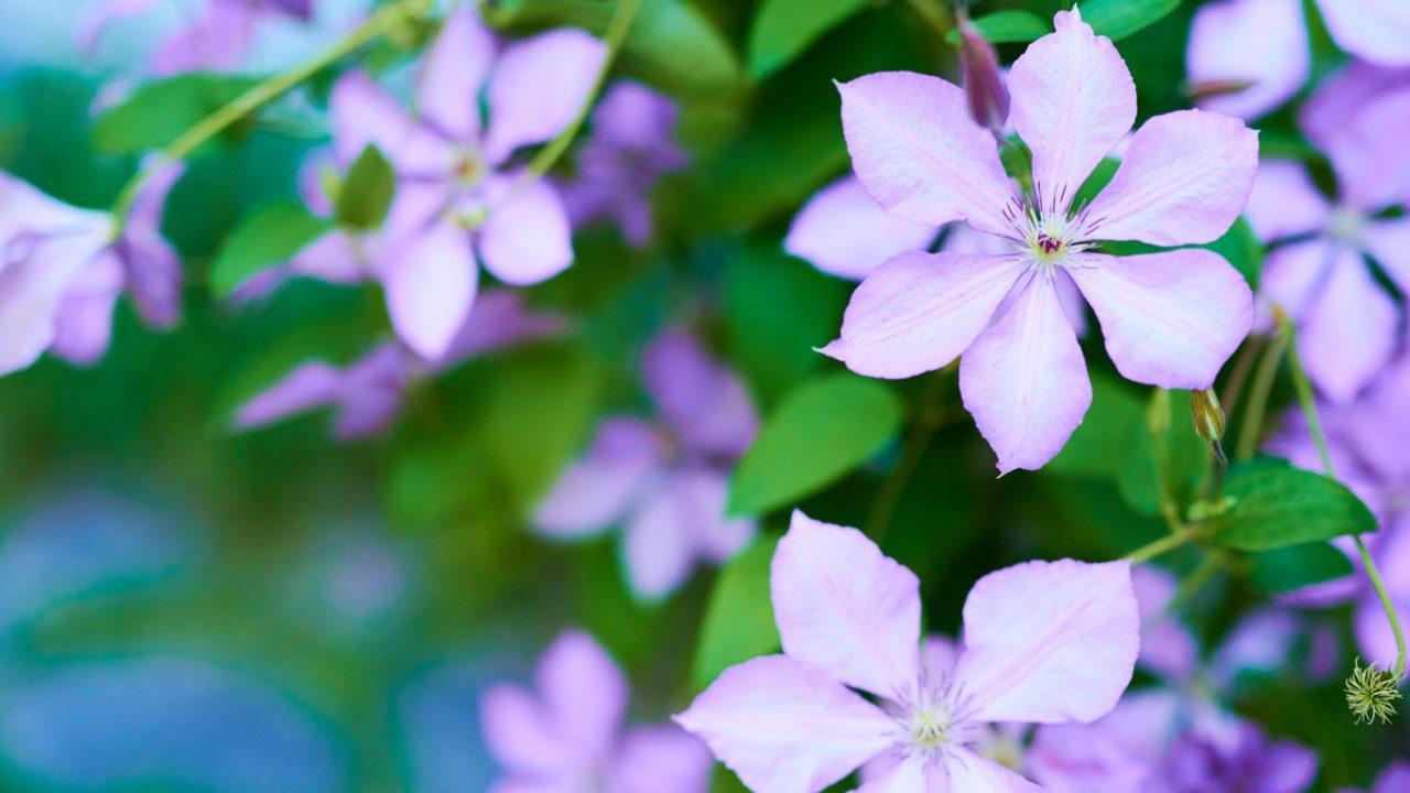 kuvituskuvaa, kukkia